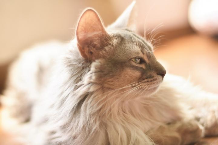 長い毛並みの猫画像