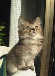猫 里親 ペルシャ