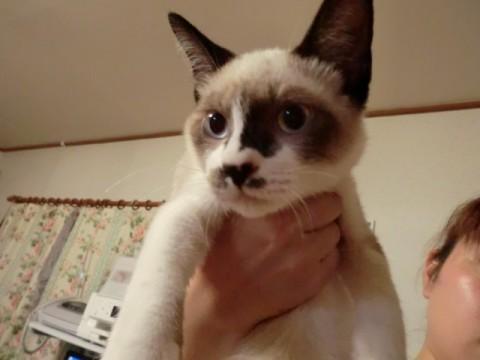 東京都】ラグドールミックスの短毛です。尾 , 猫の里親募集