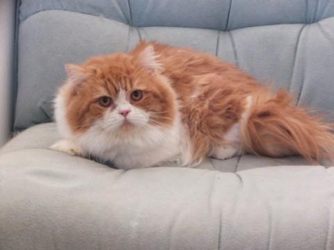 猫の里親募集 静岡県浜松市浜北区 純血のスコティッシュフォールドの - ネコジルシ