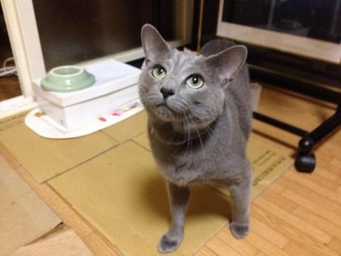 猫の里親募集 岡山県倉敷市 ロシアンブルー、順血統、優しい子 ...