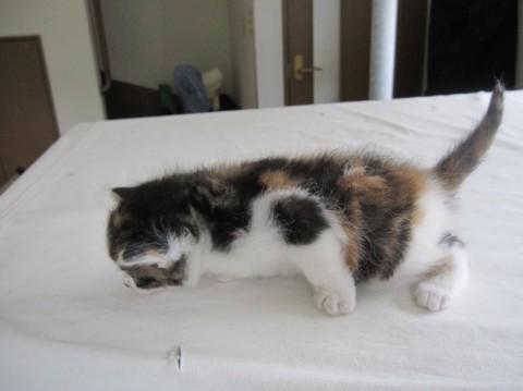 猫の里親募集 岡山県岡山市中区 ふくふくのしま三毛 動画有 ...