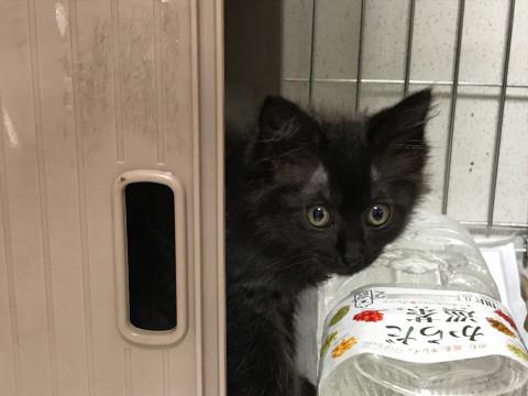 宮城県】黒猫長毛!激カワ子猫 , 猫の里親募集 , ネコジルシ