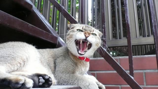 牙がすごい威嚇する猫
