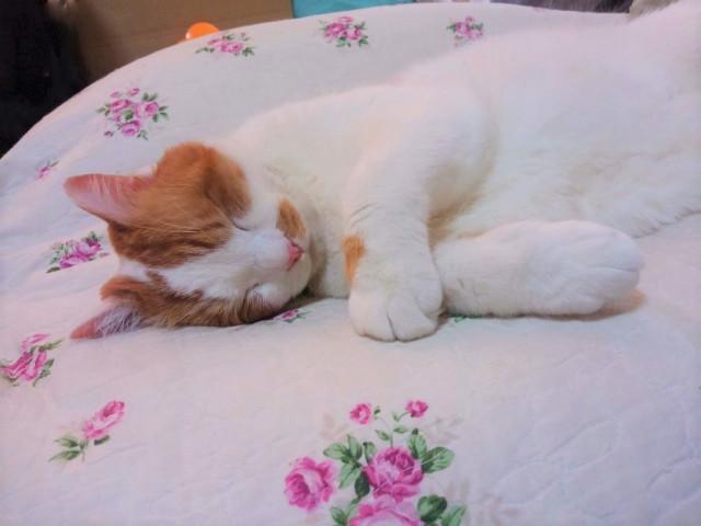 かわいい 猫 寝顔 画像
