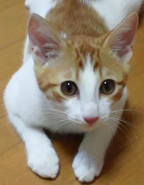 千葉県】外見は白に茶のトラ模様が入ってい - 猫の里親募集 - ネコジルシ