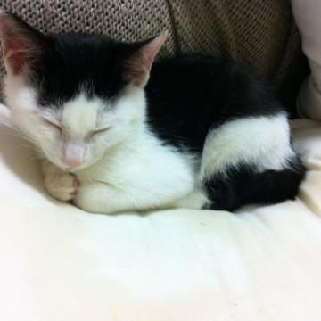 猫の里親募集 福岡県福岡市東区 元気良く走り回るので、体全体の写 - ネコジルシ