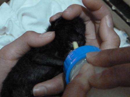 愛知県】真っ黒です。素人判断ですがおそら - 猫の里親募集 - ネコジルシ