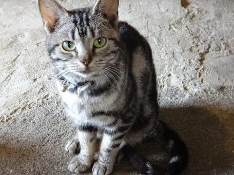 岡山県 アメリカンショートヘア 無料 - 猫の里親募集 - ネコジルシ