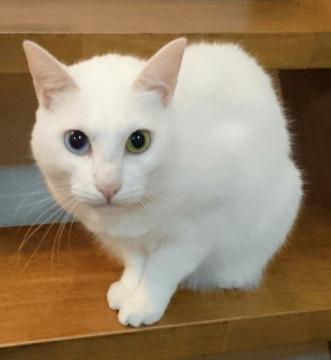 猫の里親募集 京都府京都市伏見区 オッドアイの可愛い白猫ちゃん - ネコジルシ