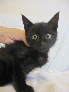 岡山県 動画ありごま塩黒猫 - 猫の里親募集 - ネコジルシ