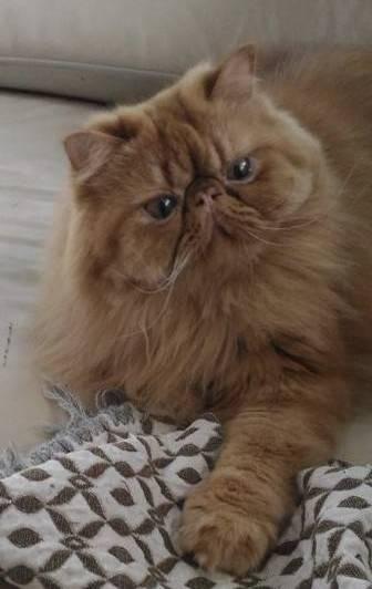 里親 ペルシャ 猫